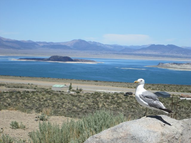 Mono Lake is a large saline soda lake to the east of Yosemite National Park. Located in a desert environment, it provides a well-known resting stop for migratory birds. This seagull has found a home there, far from the ocean.